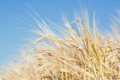 Dans un domaine de blé Images stock