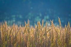 Dans un domaine de blé Photographie stock libre de droits