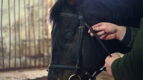 Dans un stable, en gros plan, un homme attache un frein et des rênes sur le museau d'un pur sang, cheval noir prépare un cheval banque de vidéos