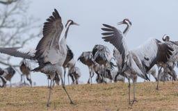 Dans van de kraanvogels Stock Afbeeldingen