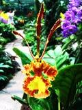 Dansa den gula orange orkidén i botanisk trädgård fotografering för bildbyråer