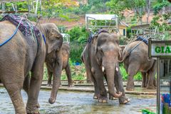 Dansa elefanter med baksäten med bulan på benet arkivbilder