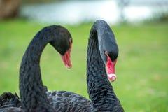 Dansa för svarta svanar Fotografering för Bildbyråer