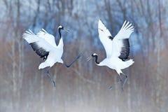Dansa par av denkrönade kranen med öppna vingar, vinter Hokkaido, Japan Snöig dans i natur Kurtis av den härliga stora whien arkivbilder