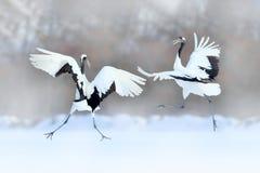 Dansa par av denkrönade kranen med öppna vingar, vinter Hokkaido, Japan Snöig dans i natur Kurtis av härligt stort royaltyfria foton
