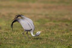 Danse bleue d'affichage de grue dans la prairie courte Photographie stock libre de droits