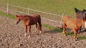 Danse de accouplement, chevaux poussant du nez dans le pré à la journée de printemps clips vidéos