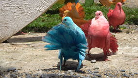 Danse de accouplement de pigeon banque de vidéos
