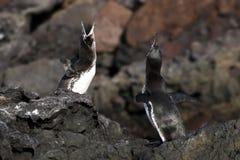 Danse de accouplement de pingouin de Galapagos photo stock
