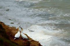 Danse de cour de fou de Bassan contre la mer orageuse Photos stock