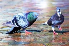 Danse de l'amour de deux beaux pigeons sur un trottoir humide Photographie stock libre de droits