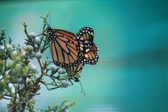 Danse de papillons Photos libres de droits
