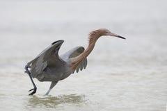 Danse rougeâtre de héron tout en égrappant un poisson - la Floride photographie stock libre de droits