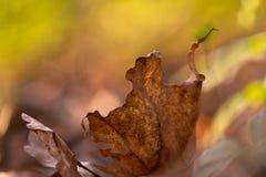 Dansend de herfstblad Stock Afbeelding