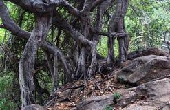 Dansende banyan boomwortels Stock Afbeeldingen