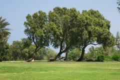 Dansende bomen Stock Afbeelding