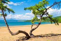 Dansende boom op het zandige strand van Meer Hovsgol, Mongolië stock foto