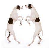 Dansende honden Stock Afbeelding