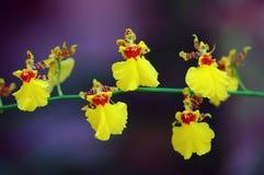 Dansende Orchideeën stock afbeeldingen