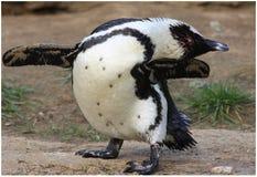 Dansende pinguïn Stock Fotografie
