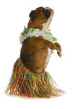 Danseur de crabot photo stock