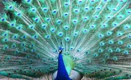 dansförbindelsepåfågel Royaltyfria Bilder
