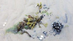 Danshavsväxt på kusten Royaltyfri Fotografi