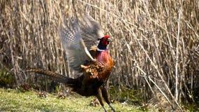 Pheasant landing Royalty Free Stock Photo