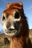danska hästar Royaltyfria Foton