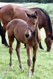 danska hästar arkivfoto