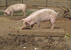 danska landrace piglets Arkivfoton