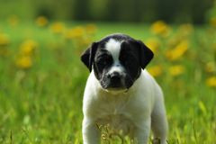 Danska-svensk farmdogvalp Arkivfoto