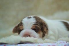 Danska-svensk farmdogvalp Royaltyfri Fotografi