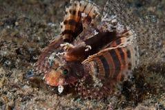 danslionfish Royaltyfri Bild