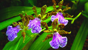 dansorchids Royaltyfria Foton