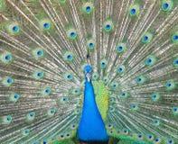 Danspåfågel Arkivbilder