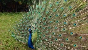 Danspåfågel royaltyfria foton