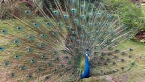 Danspåfågel royaltyfri bild