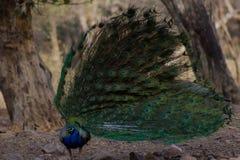 Danspåfågel med dess fjädrar royaltyfri fotografi