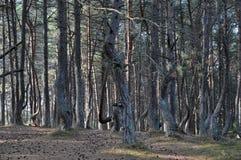 Dansskogen av Curonian spottar Ryssland Arkivfoton