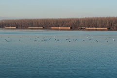 Danube afternoon. One late afternoon on Danube close to Belgrade town,Serbia... forest,empty cargo ships, wild ducks and the blue Danube made a beautiful image Stock Image