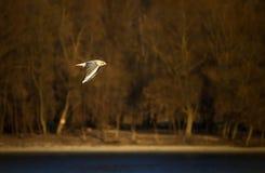 Danube angler. Small gull in flight near Vukovar royalty free stock image