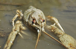 Danube crayfish. Is in the water Stock Photos