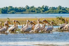 Danube Delta common sight the Pelican colony on Fortuna Lake. Wildlife birds and birdwatching photography and a common sighting for tourists in the Danube royalty free stock photography