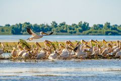 Danube Delta common sight the Pelican colony on Fortuna Lake. Wildlife birds and birdwatching photography and a common sighting for tourists in the Danube stock photography