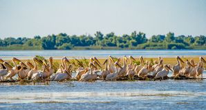 Danube Delta common sight the Pelican colony on Fortuna Lake. Wildlife birds and birdwatching photography and a common sighting for tourists in the Danube stock photos
