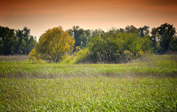 Danube Delta Landscape. With reed and trees at sunset Royalty Free Stock Photo