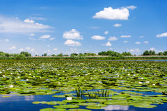 Danube Delta landscape with waterlily Stock Images