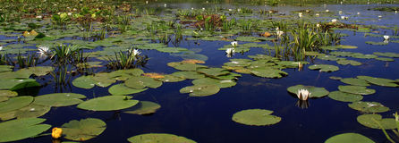 Danube Delta – Nenuphars Stock Photo