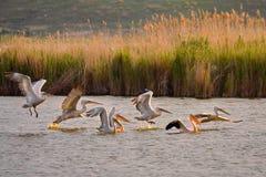 Danube Delta. Pelican, pelicans, at sunset, Danube Delta in Romania royalty free stock image